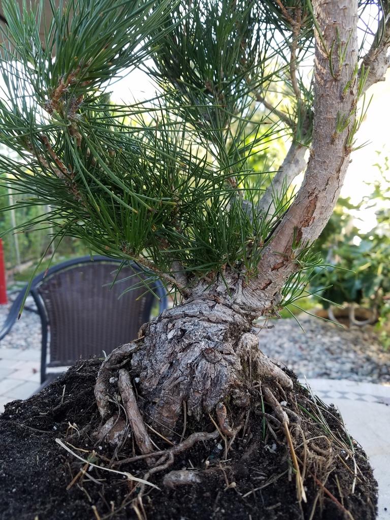 black-pine-uno