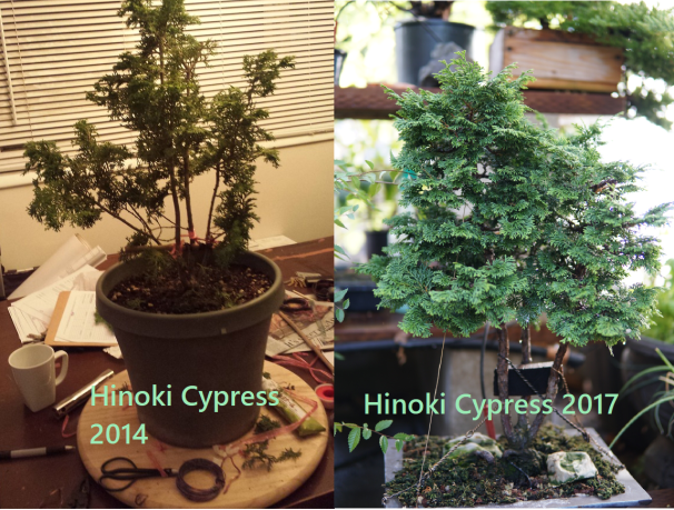 Hinoki cypress progression