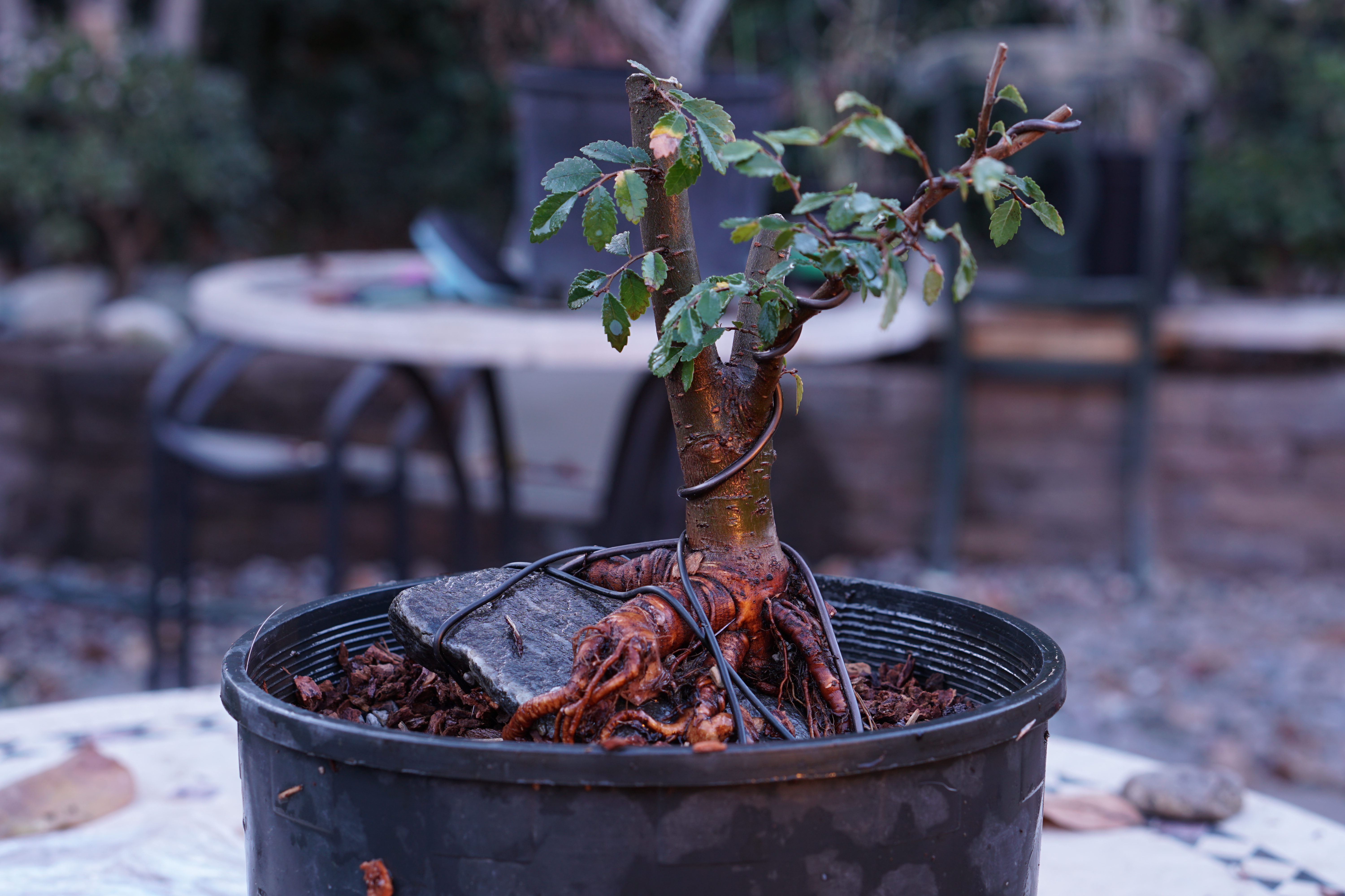 Root Over Rock Chinese Elm Update Wiring Bonsai