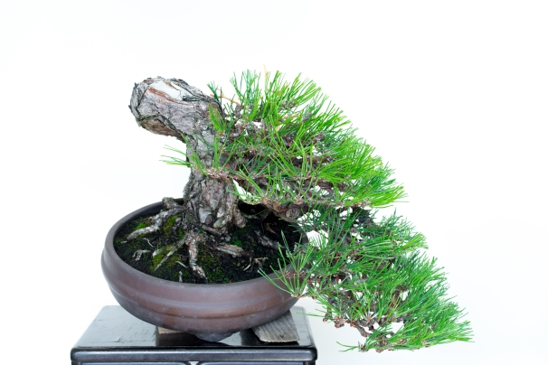 semi cascade pine